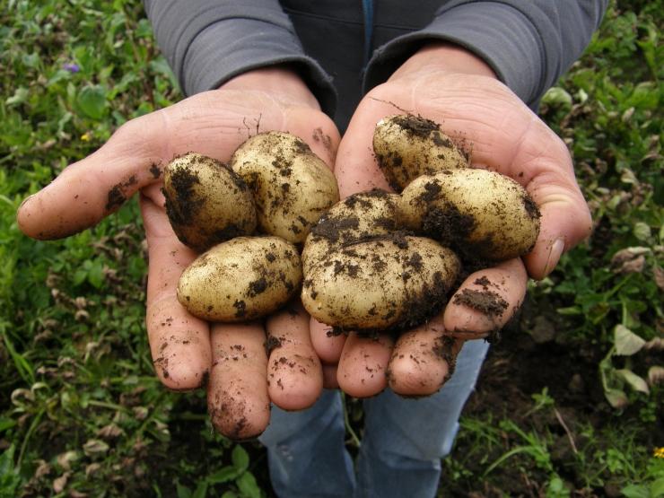 Loengud kartulist ja köögiviljadest Tallinna botaanikaaias