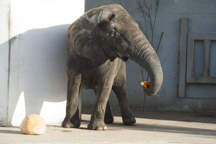 VIDEO! Loomaaia kõrvitsapeol maiustavad elevandid pakkusid pealtvaatajatele põnevaid hetki