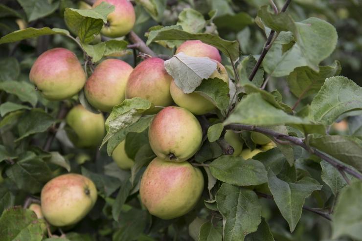 Põllumajandusamet: Mulgi Õun turustas 9000 kilogrammi tõendamata päritoluga õunu