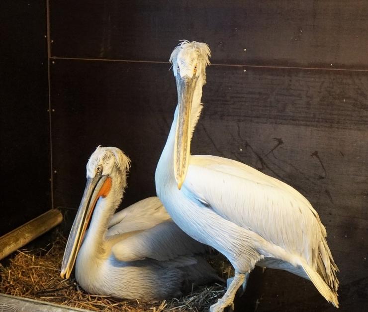 Tuppa kolinud pelikanid panid pulmadeks pidurüü selga