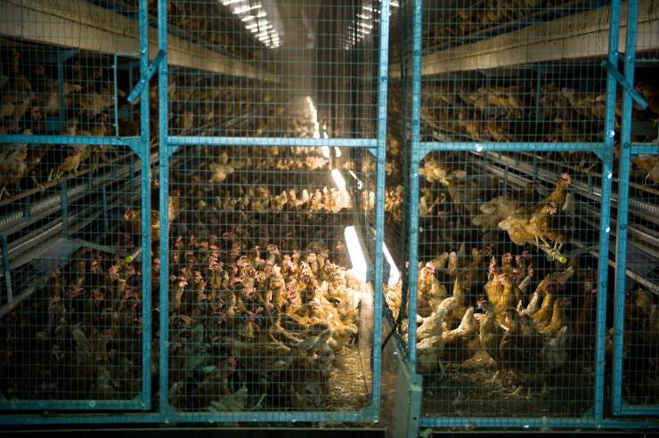 Loomakaitsjad protestisid Rimi keti kanamunamüügi vastu