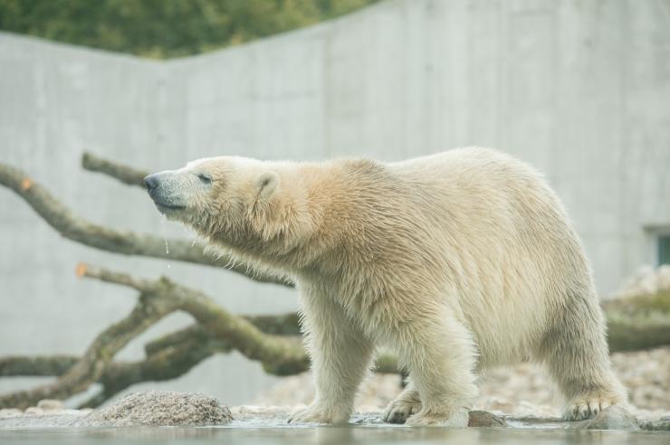 VIDEO! Jääkaru Nora saadab Viinist tervitusi