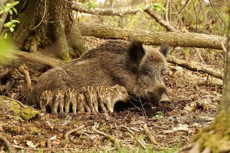 Veterinaar- ja Toiduamet kutsub jahimehi üles Kagu-Eestis senisest enam metssigu küttima