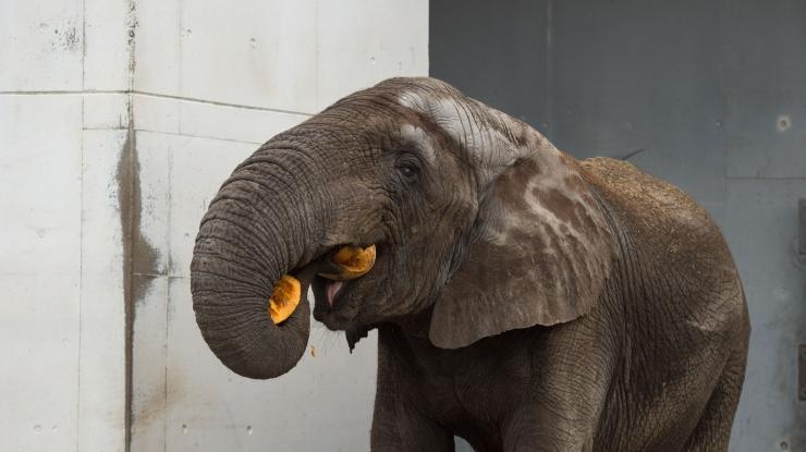 Loomaaia elevandid võtsid uut aastat vastu alkoholivaba glögi ja piparkookidega