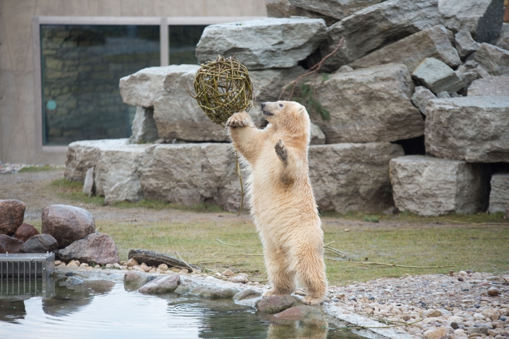 Pealinn aitas loomaaia jääkarude maailma jaoks rekordsummat koguda