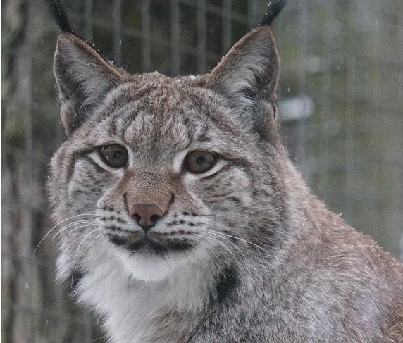 Loomaaed kutsub aasta looma ilvest uudistama