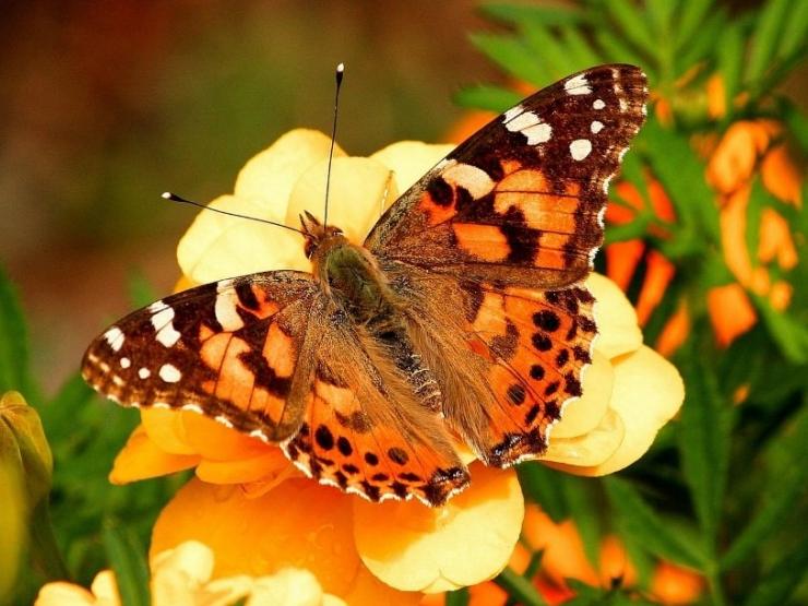 Eesti Loodusmuuseum avab valentinipäeval näituse liblikate armulukkudest