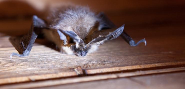 ELF asub nahkhiirte talvitusolusid parandama