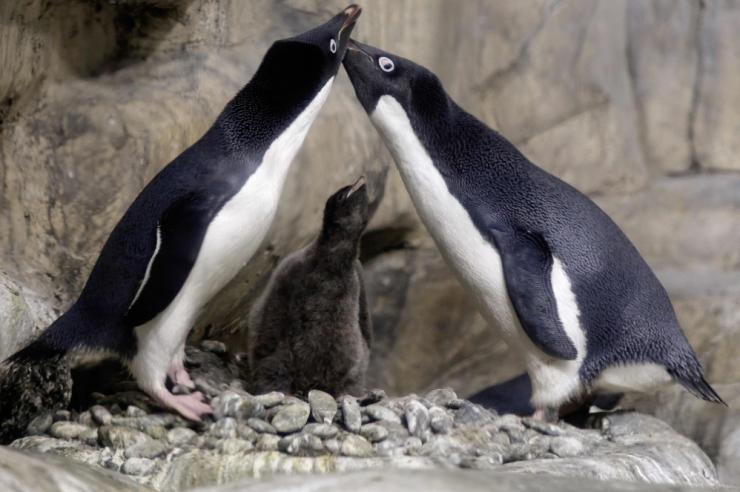 Antarktika saartel avastati 1,5 miljoni asukaga pingviinikoloonia