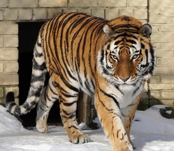 Täna saab loomaaias koos tiigritega lustida
