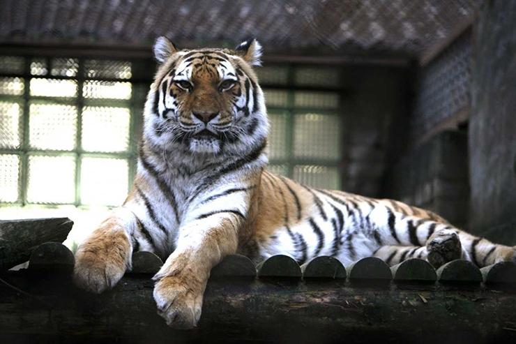 VAATA KAVANDIT SIIT! Eesti kliima sobib Amuuri tiigrile hästi, aita talle uus kodu ehitada!