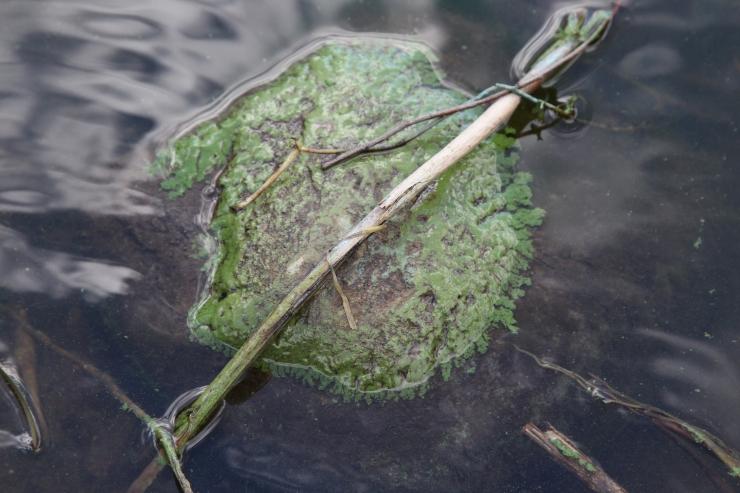 Uuring: Pirita tee äärses rannikuvees haiseb 706 tonni vetikaid
