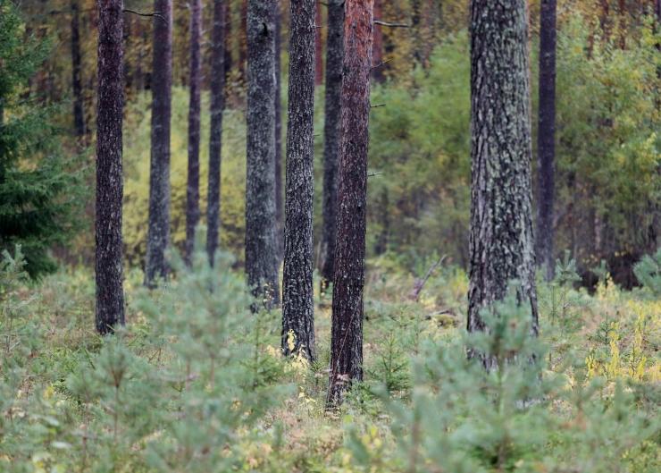 Metsa juurdekasv oli 16,1 miljonit ja raie 11 miljonit tihumeetrit