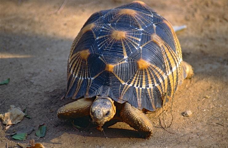 Madagaskaril päästeti üle 10 000 ohustatud kilpkonna