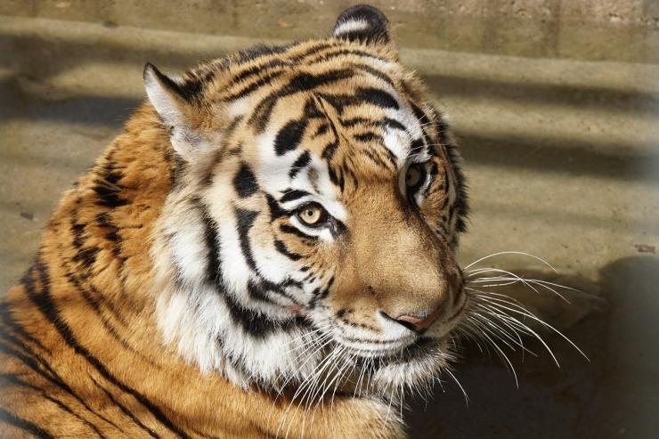 Amuuri tiiger Pootsman sai sünnipäevaks prae ja mänguasjad