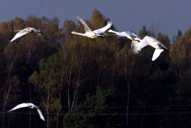 Keskkonnaamet: rändlindude kaitsmine vajab rahvusvahelist koostööd