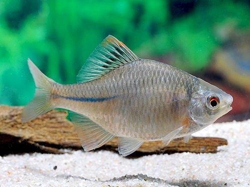 Teadlased: mõrukas on Eestis uus kalaliik
