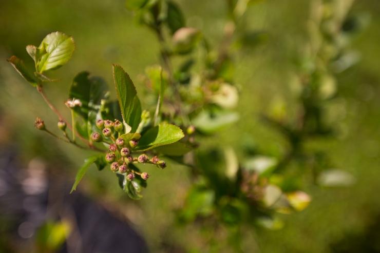 Maaeluministeerium: tahame hoida Eesti vaba ohtlikest taimekahjustajatest