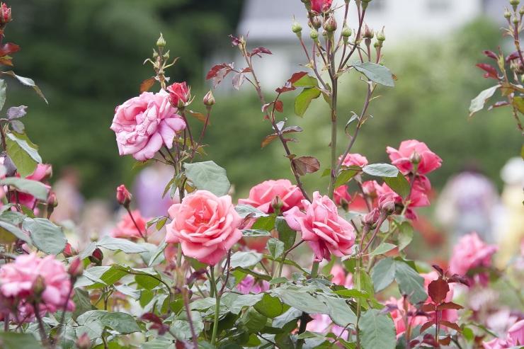 Tallinna Botaanikaaed kutsub roosipäevadele