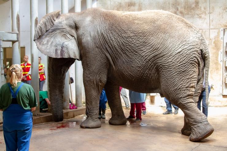 FOTOD! Loomaaias opereeriti elevant Carli