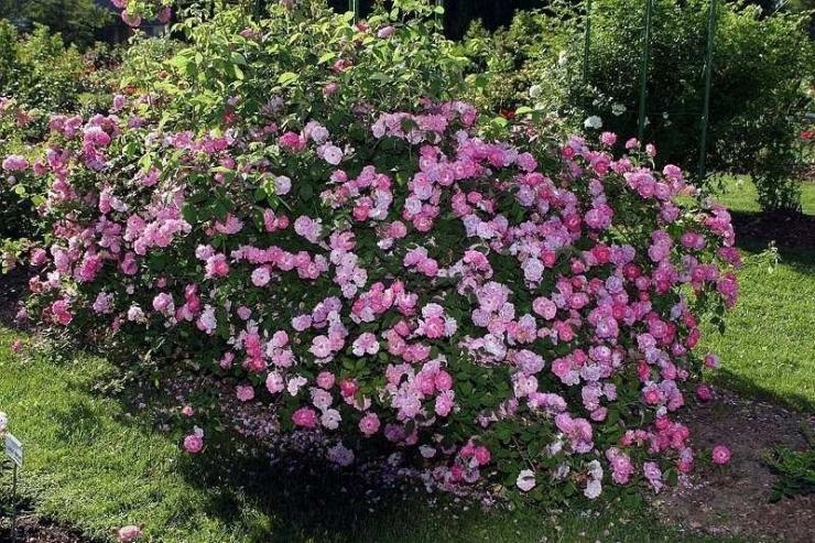 Tallinna Botaanikaaias tulevad nädalavahetusel roosipäevad