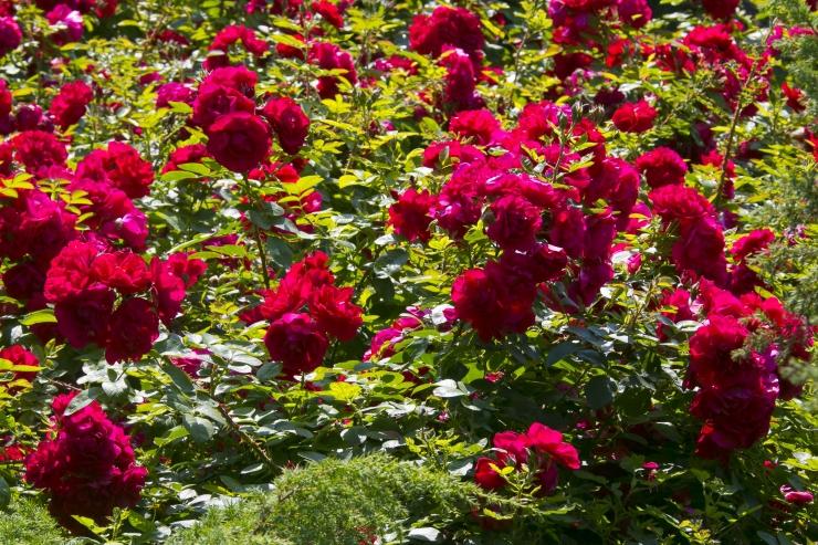 Kadrioru pargis saab nautida roosinäitust