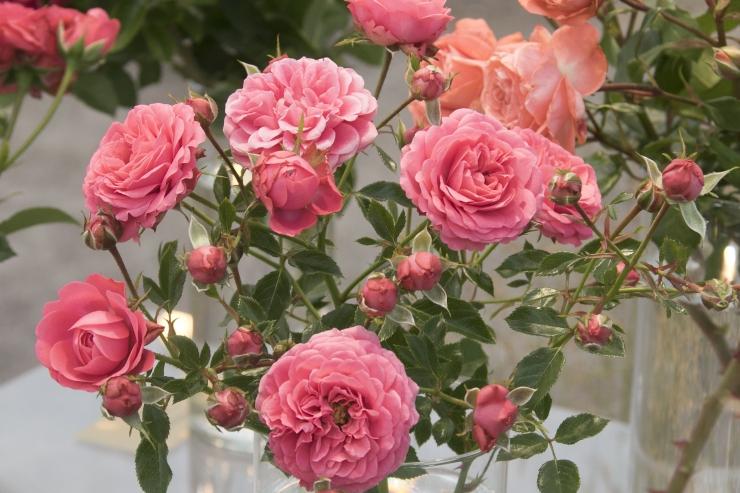 Kadrioru pargis saab nädala lõpuni nautida roosinäitust