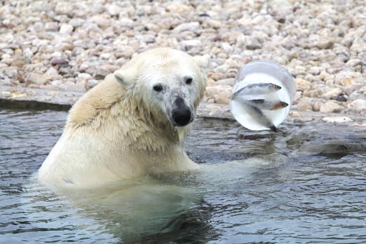Pühapäeval saab loomaaias jääkaruga koos jäätist süüa
