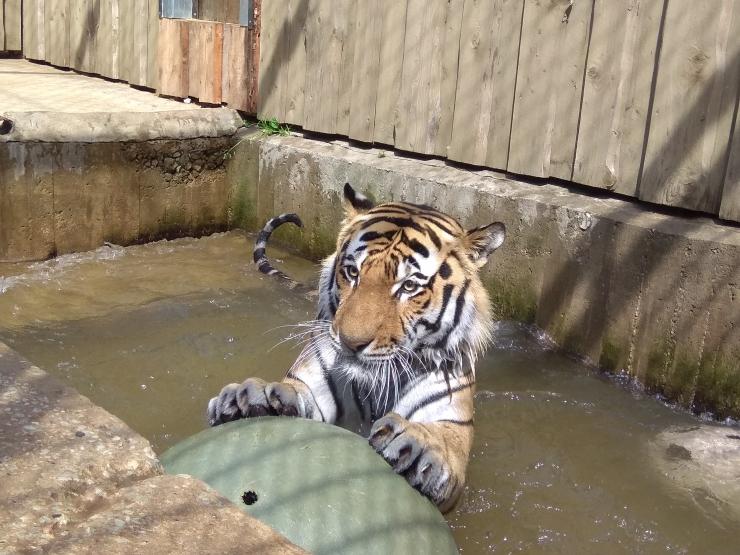 Loomaaias tuleb tiigripäev