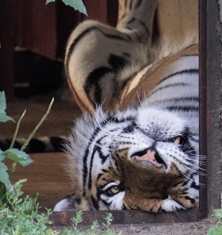 Pühapäeval tähistatakse üle ilma rahvusvahelist tiigripäeva