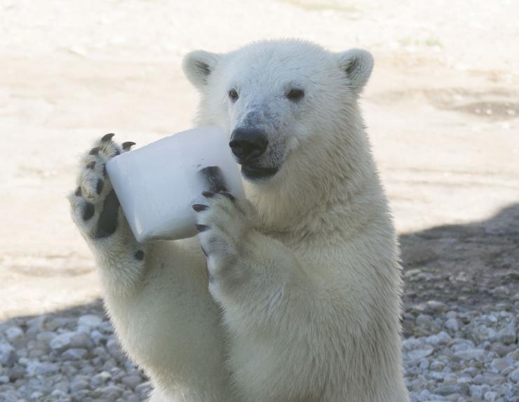 FOTOD! Jääkarupoeg Aron sai vaderilt maitsva kingituse