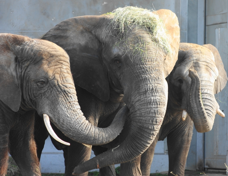 Tallinna Loomaaed tähistab pühapäeval elevantide päeva