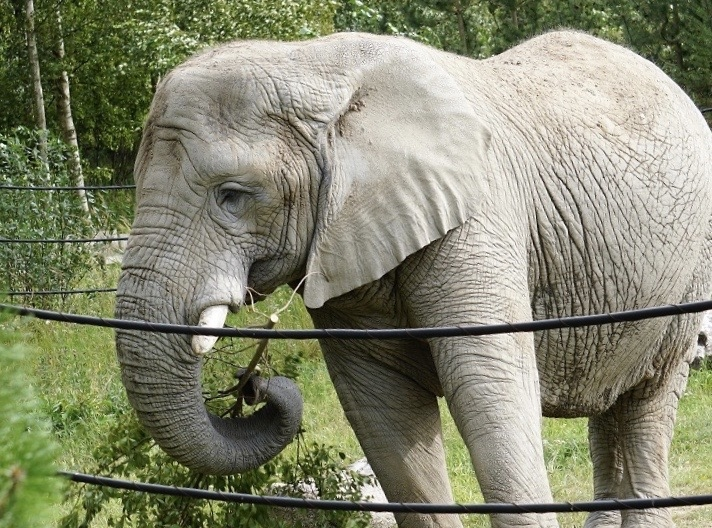 Loomaaias tähistatakse üleilmset elevantide päeva
