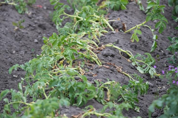 Põllumajanduskoda uurib põuakahjude ulatust