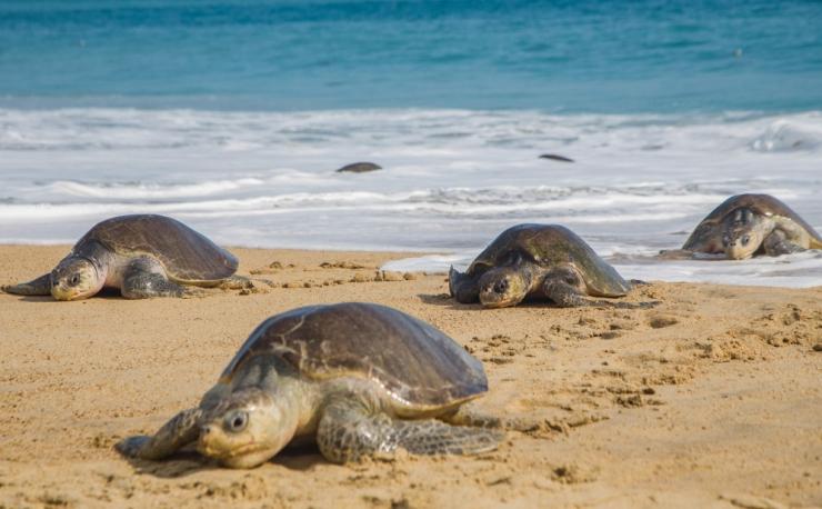 Mehhiko lõunaosas leiti üle 300 surnud ohustatud kilpkonna