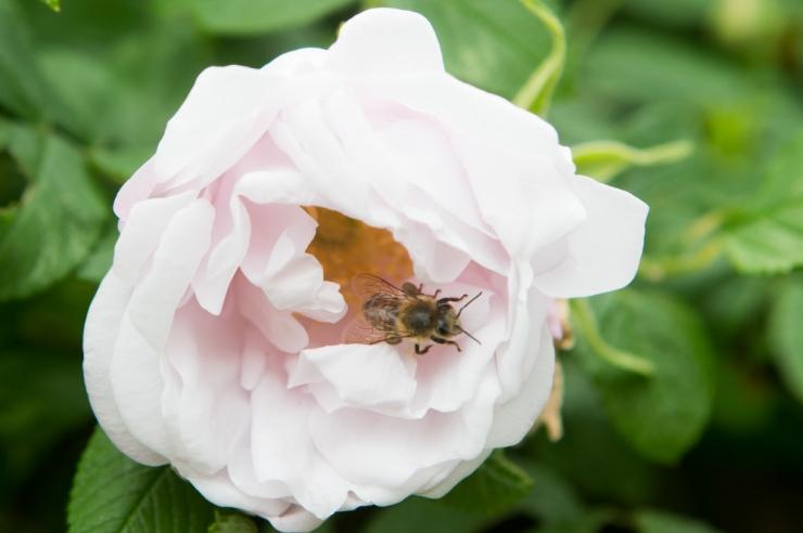Botaanikaaed kutsub kõiki huvilisi mesilasi uudistama