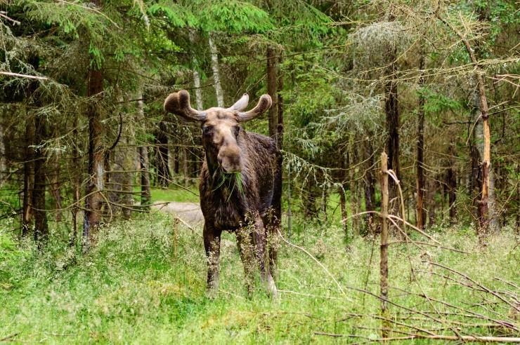 HOIATUS AUTOJUHTIDELE: Metsloomad võivad teele sattuda!