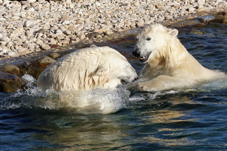 Kargem sügisilm muudab jääkarud järjest ümaramaks