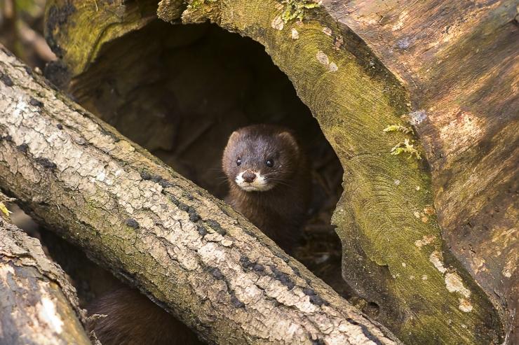 Tallinna loomaaed teeb edukat stööd euroopa naaritsa paljundusprogrammis