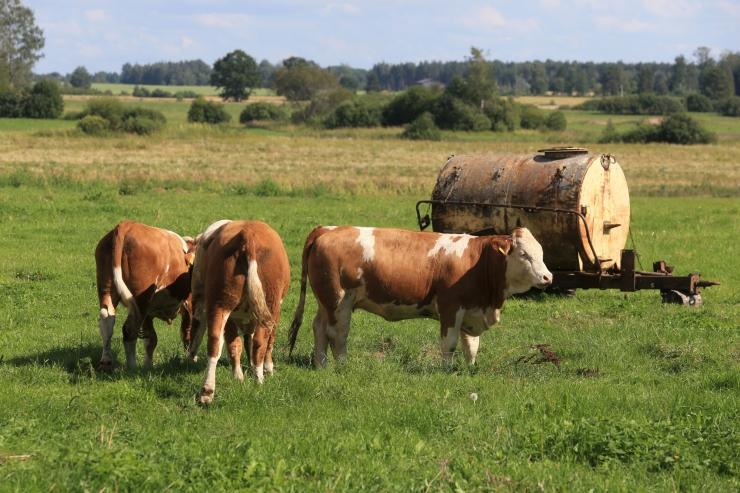 Saaremaa Ökoküla veised peavad taas jääma talveks Loonalaiule