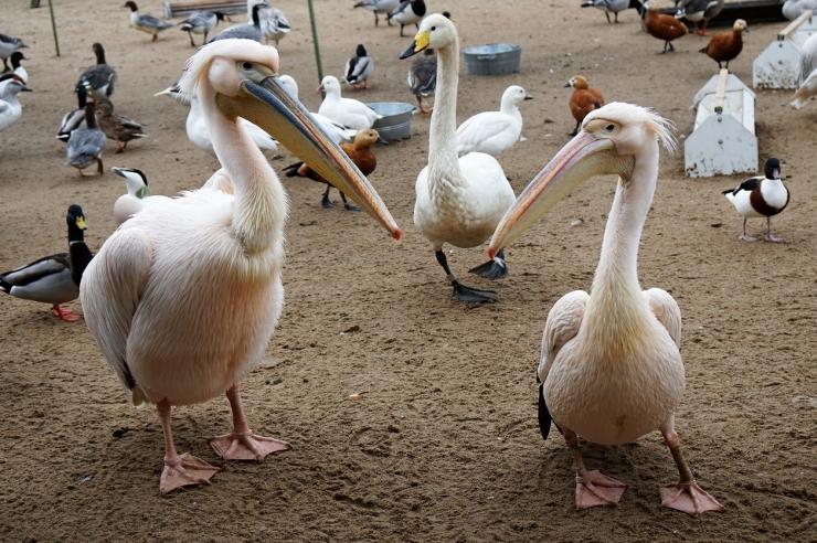 Pelikanitüdruk Lala tõmbas selga roosa pulmarüü