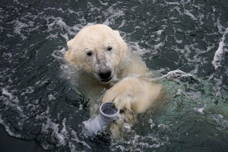 Jääkarud Nord ja Aron tähistavad sünnipäeva