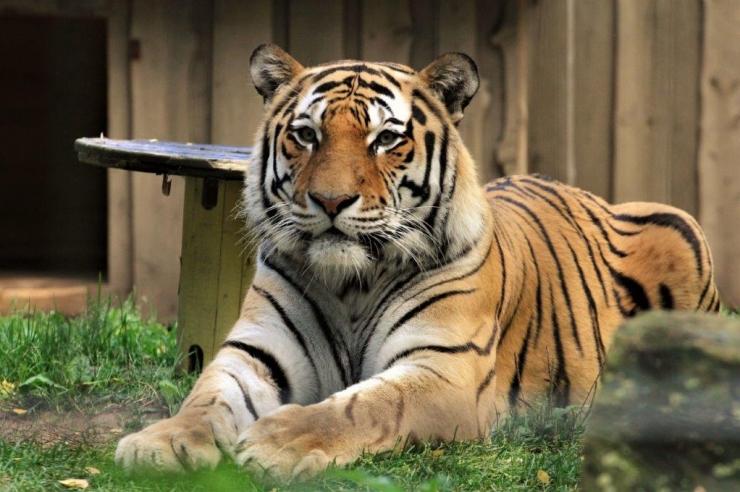 Tallinna Loomaaed saadab amuuri tiigri Tšehhi järglasi andma
