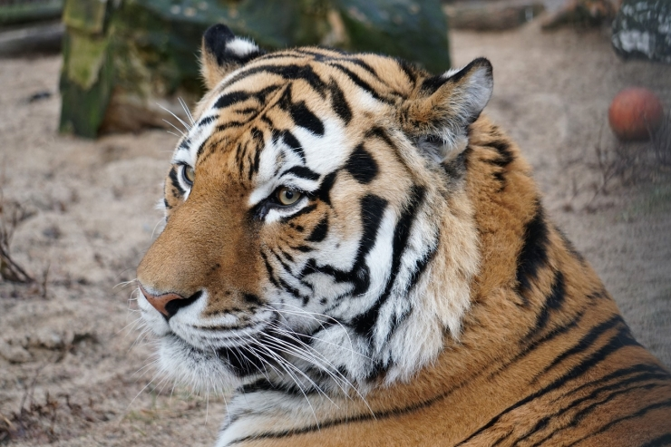 Loomaaia asukad saadavad tiiger Pootsmanni pulmareisile