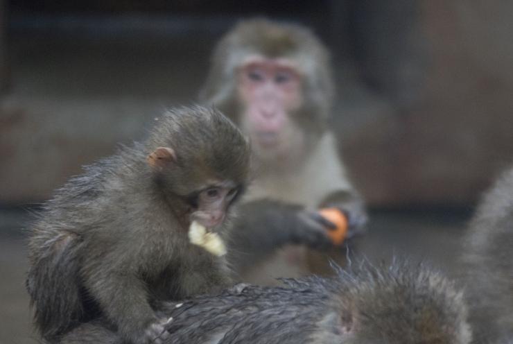 Loomaaed tähistab homme ahvipäeva ja hakkab koguma vanu telefone
