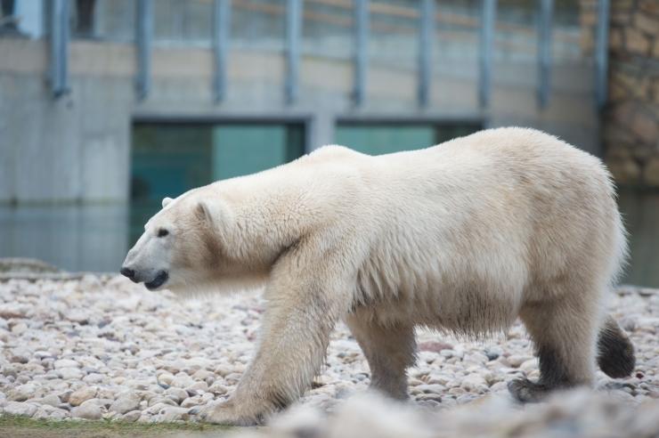 Jääkaruisa Nord tuli haiguse tõttu magama panna