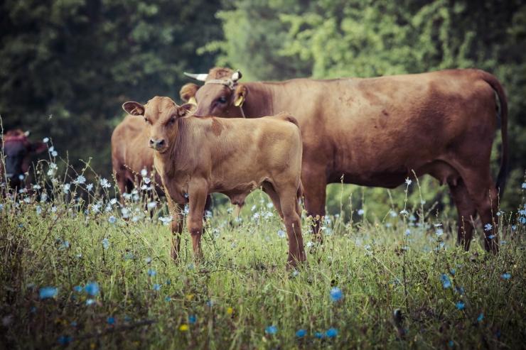 Vaatamata keerulistele ilmastikuoludele piimatoodang Eestis suurenes