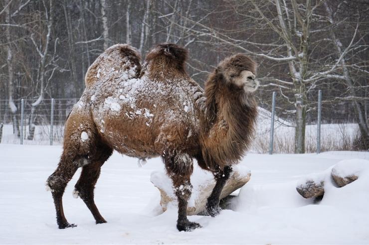 Paksu villaga kaamelid lösutavad mõnuga lumehanges