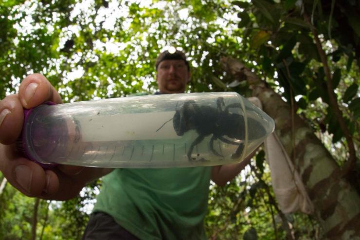 Maailma suurim mesilane avastati taas