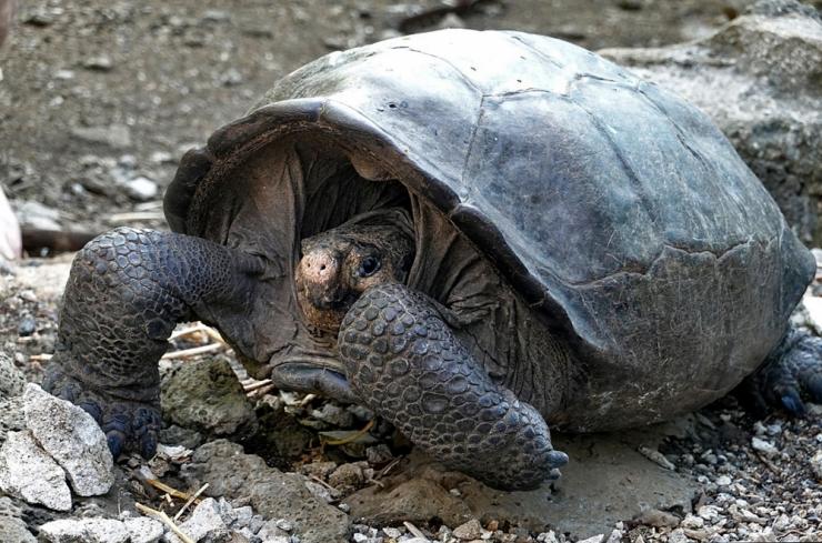 Galápagose saarelt leiti väljasurnuks peetud hiidkilpkonn
